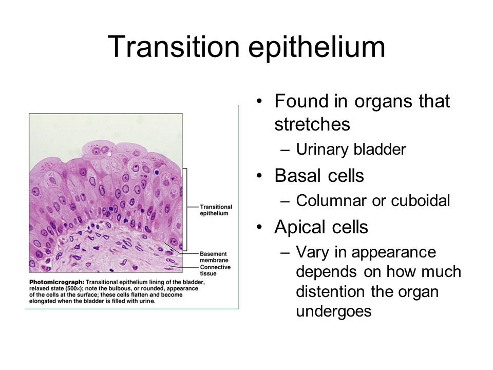 Transition epithelium Found in organs that stretches –Urinary bladder Basal cells –Columnar or cuboidal Apical cells –Vary in appearance depends on ho