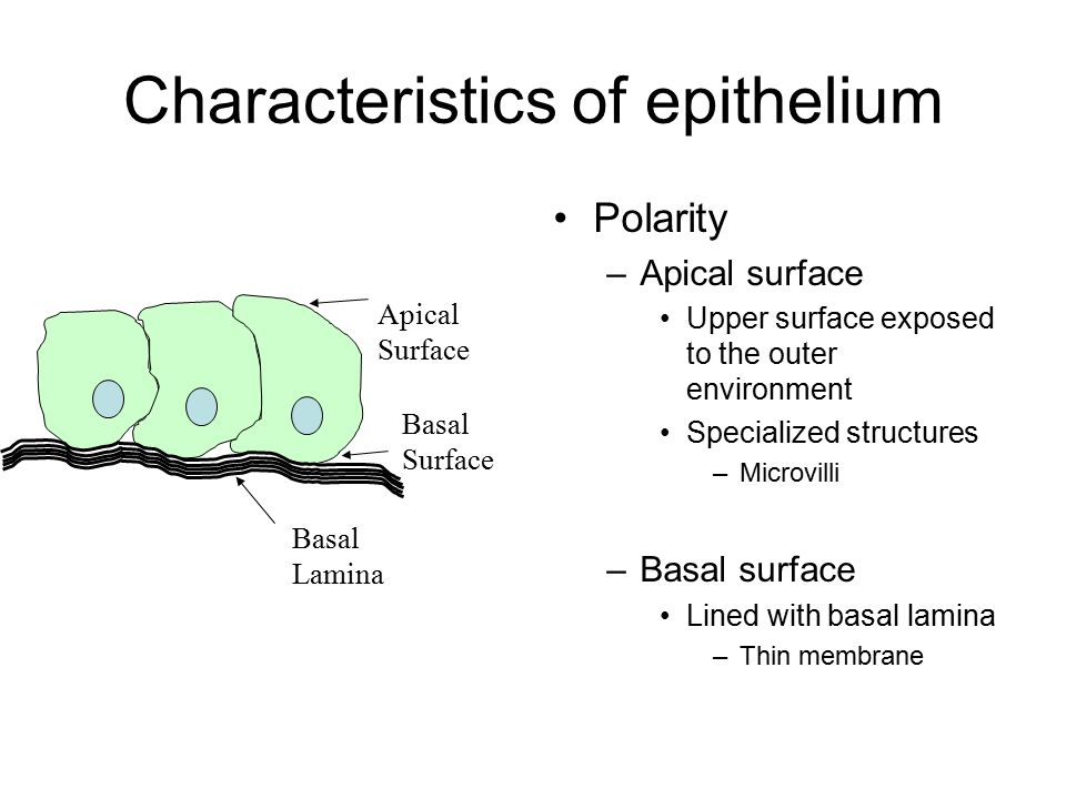 Characteristics of epithelium Polarity –Apical surface Upper surface exposed to the outer environment Specialized structures –Microvilli –Basal surfac