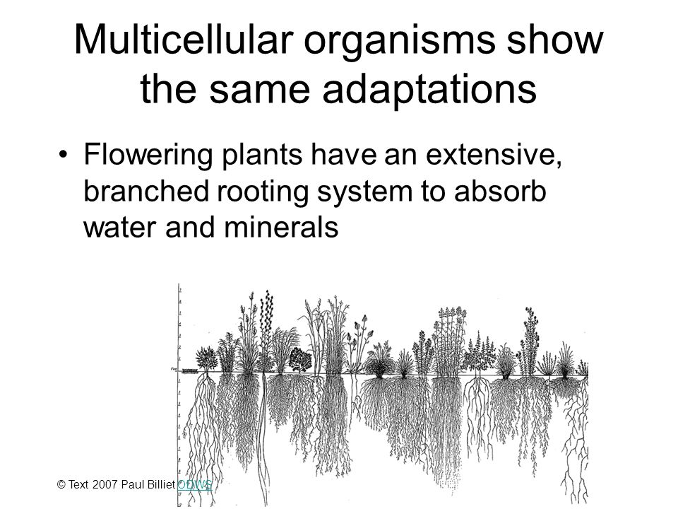Multicellular organisms show the same adaptations Flowering plants have an extensive, branched rooting system to absorb water and minerals © Illinois