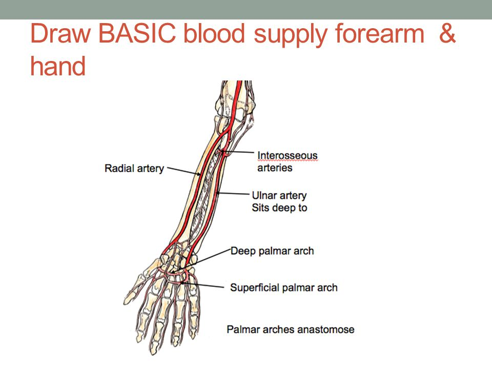 Draw BASIC blood supply forearm & hand