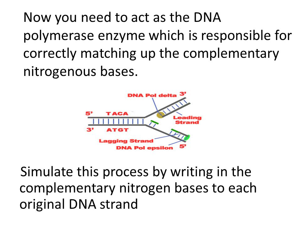 Now you need to act as the DNA polymerase enzyme which is responsible for correctly matching up the complementary nitrogenous bases. Simulate this pro