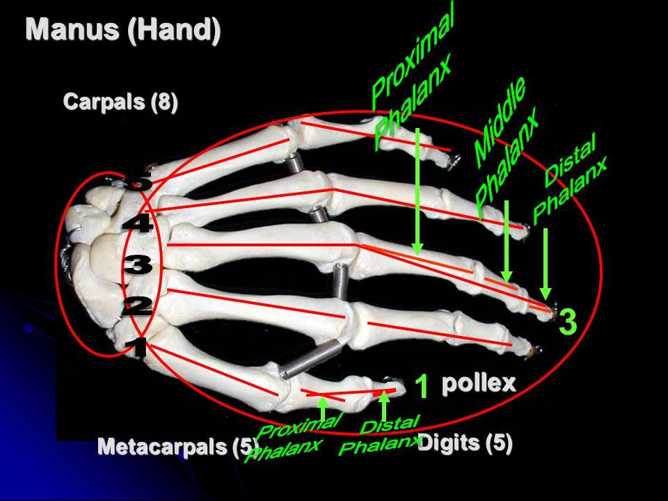 Manus (Hand) Metacarpals (5) Carpals (8) Digits (5) 3 1pollex