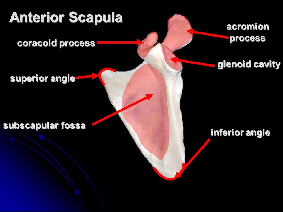 coracoid process acromion process glenoid cavity superior angle inferior angle Anterior Scapula subscapular fossa