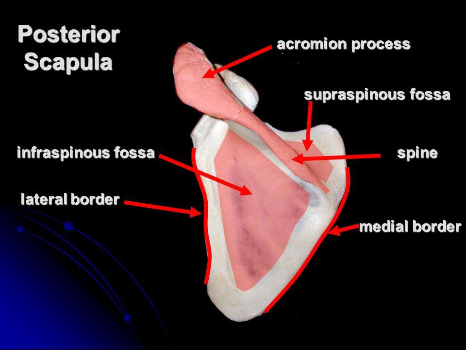 Posterior Scapula lateral border medial border spine supraspinous fossa infraspinous fossa acromion process