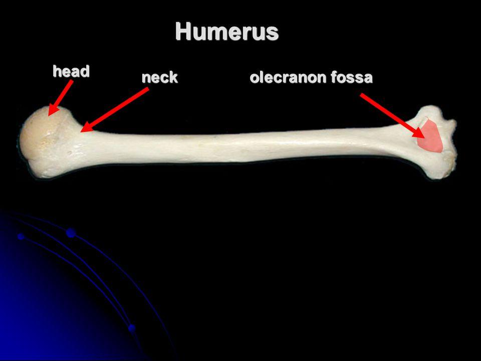 Humerushead neck olecranon fossa