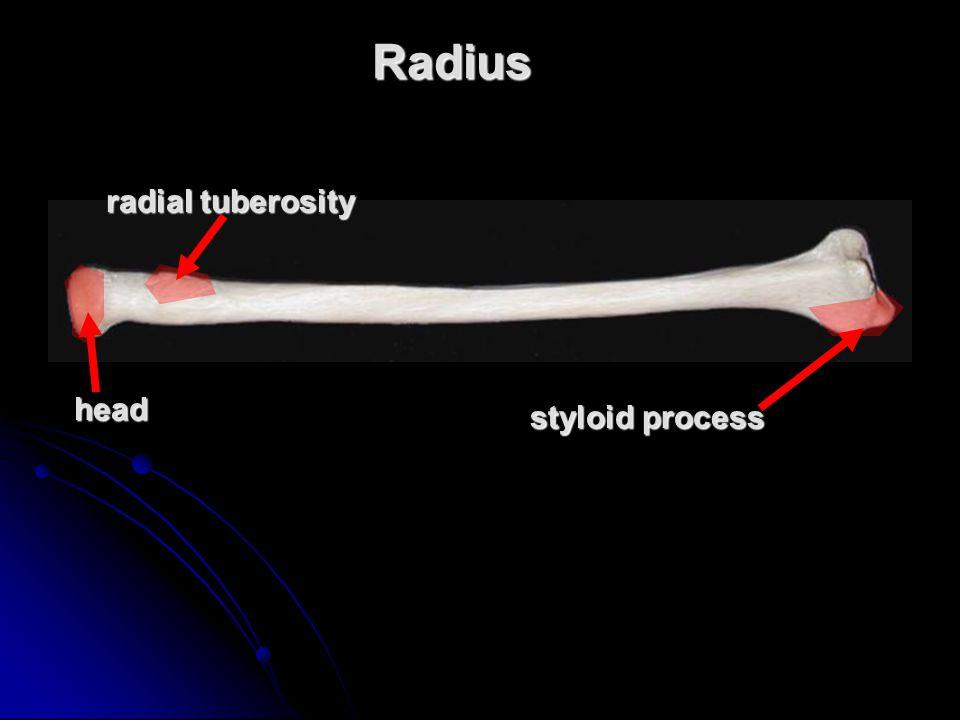 Radiushead radial tuberosity styloid process