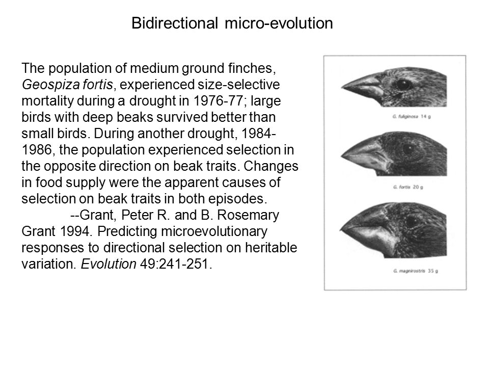 Micro-evolution The fluctuations of bidirectional changes resemble the micro-evolution of finch beaks in the Grants study of the Galapagos, although no correlate of fitness or natural selection has yet been identified for the linguistic changes