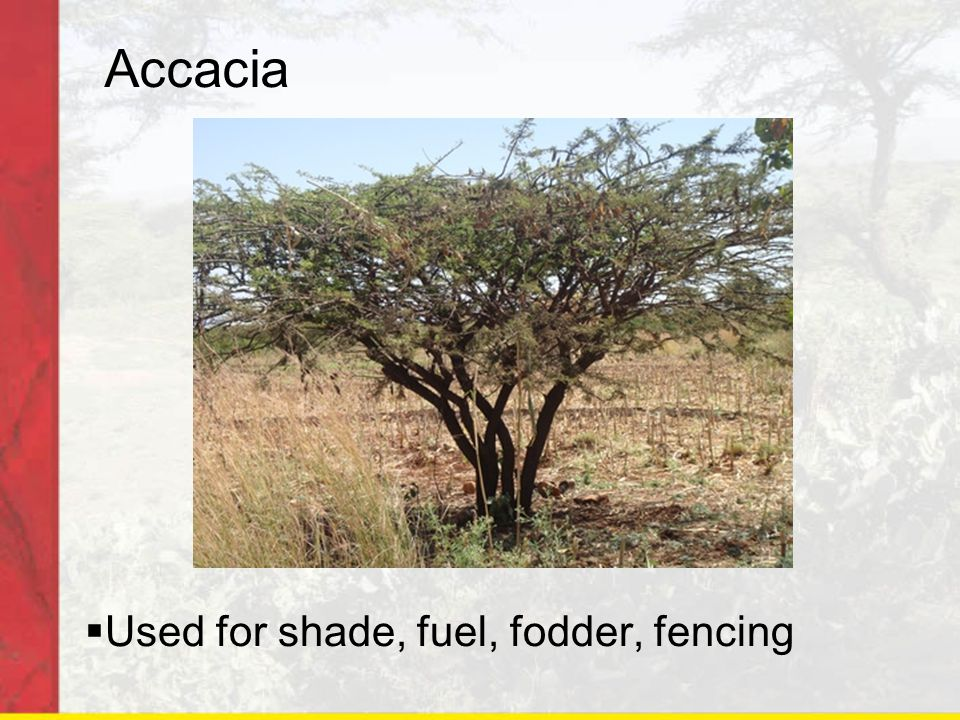 Accacia  Used for shade, fuel, fodder, fencing