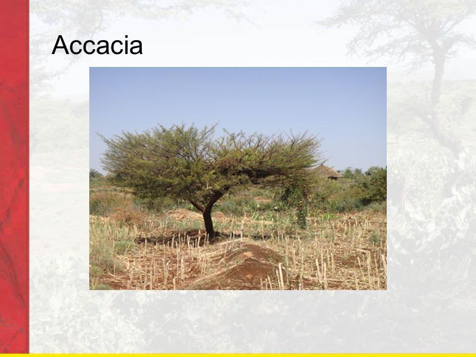 Accacia