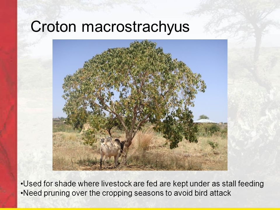Croton macrostrachyus Used for shade where livestock are fed are kept under as stall feeding Need pruning over the cropping seasons to avoid bird atta