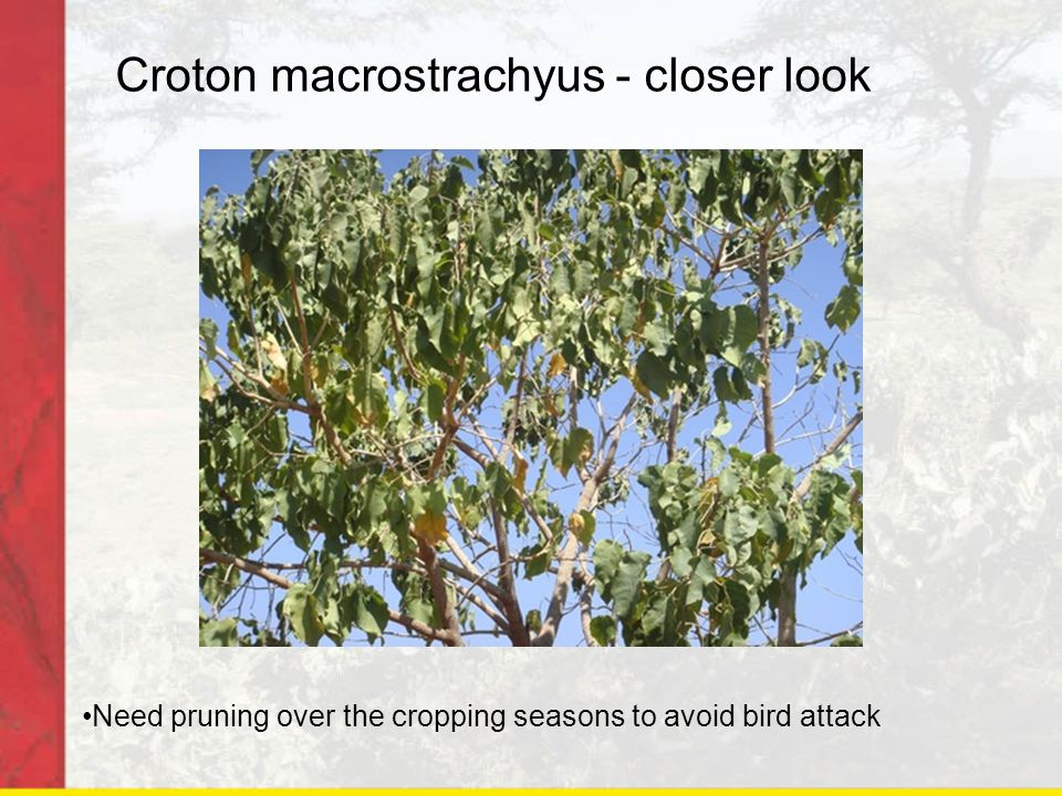 Croton macrostrachyus - closer look Need pruning over the cropping seasons to avoid bird attack