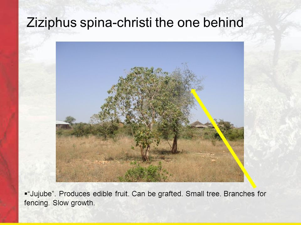 "Ziziphus spina-christi the one behind  ""Jujube"". Produces edible fruit. Can be grafted. Small tree. Branches for fencing. Slow growth."
