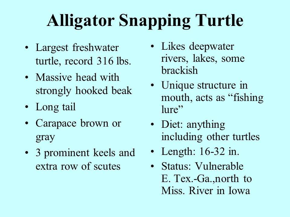 Alligator Snapping Turtle Largest freshwater turtle, record 316 lbs.