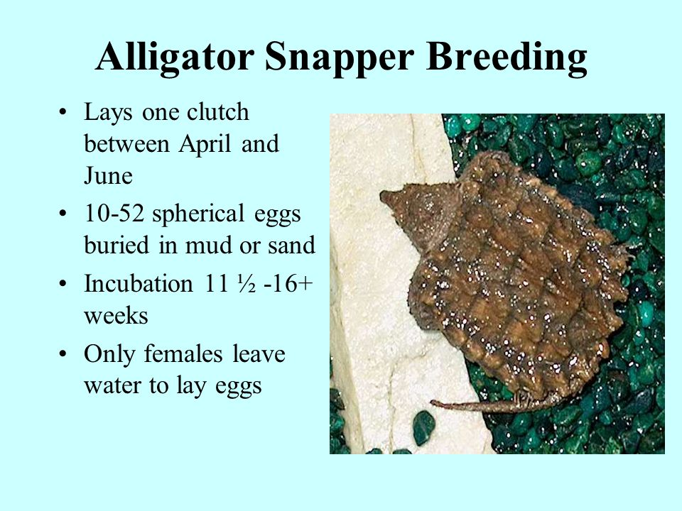 Alligator Snapper Breeding Lays one clutch between April and June 10-52 spherical eggs buried in mud or sand Incubation 11 ½ -16+ weeks Only females leave water to lay eggs