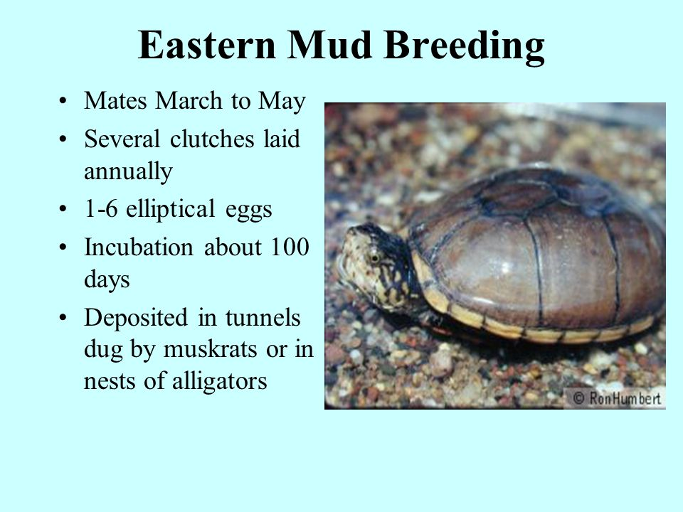 Eastern Mud Breeding Mates March to May Several clutches laid annually 1-6 elliptical eggs Incubation about 100 days Deposited in tunnels dug by muskrats or in nests of alligators