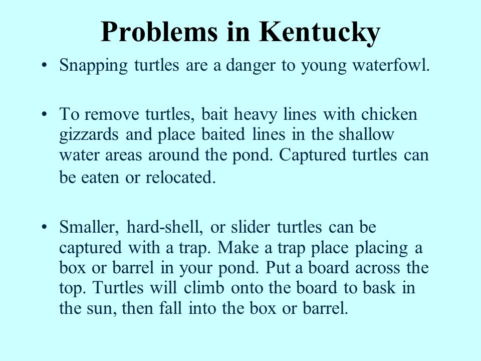 Problems in Kentucky Snapping turtles are a danger to young waterfowl.