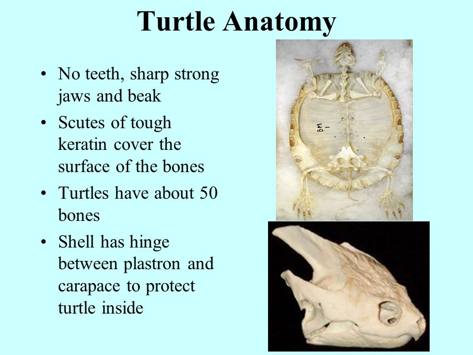 No teeth, sharp strong jaws and beak Scutes of tough keratin cover the surface of the bones Turtles have about 50 bones Shell has hinge between plastron and carapace to protect turtle inside