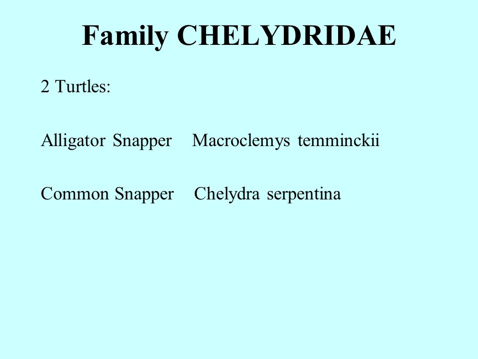 Family CHELYDRIDAE 2 Turtles: Alligator Snapper Macroclemys temminckii Common Snapper Chelydra serpentina