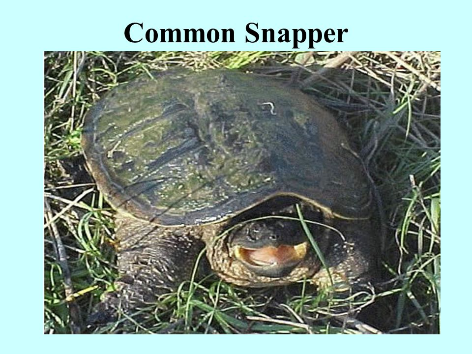 Common Snapper