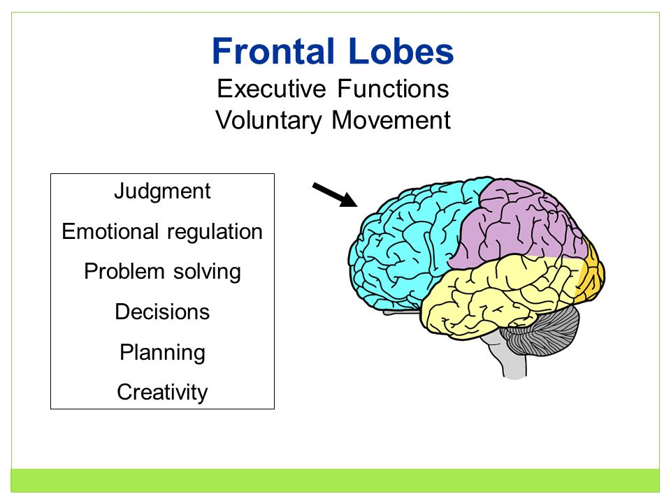 Frontal Lobes Executive Functions Voluntary Movement Judgment Emotional regulation Problem solving Decisions Planning Creativity