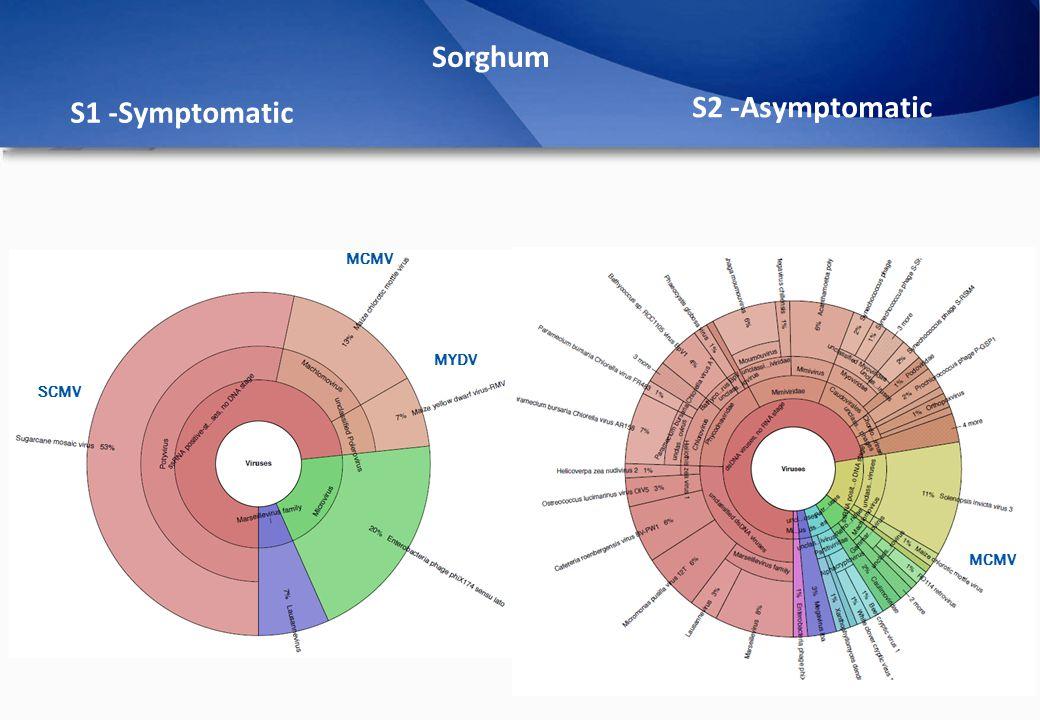 Sorghum S1 -Symptomatic S2 -Asymptomatic MCMV SCMV MCMV MYDV