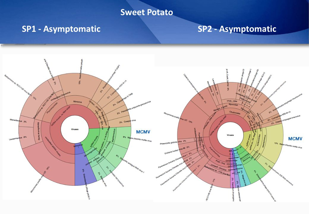 Sweet Potato SP1 - AsymptomaticSP2 - Asymptomatic MCMV