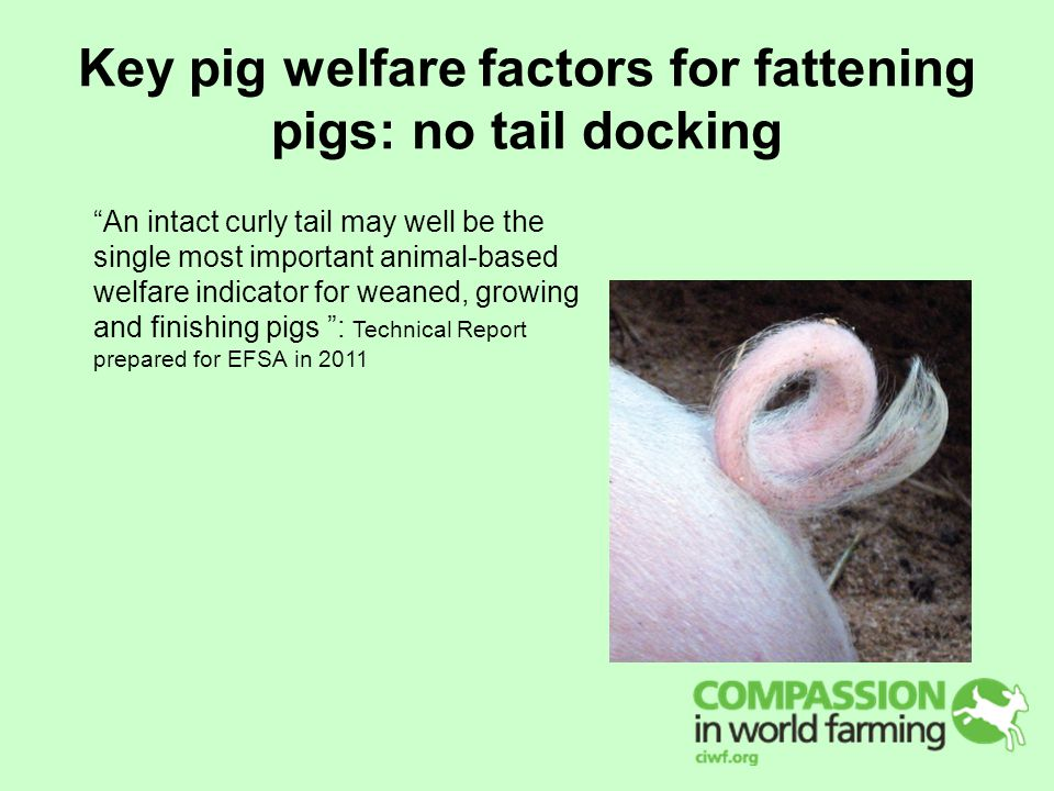 Key pig welfare factors for fattening pigs: no tail docking An intact curly tail may well be the single most important animal-based welfare indicator for weaned, growing and finishing pigs : Technical Report prepared for EFSA in 2011