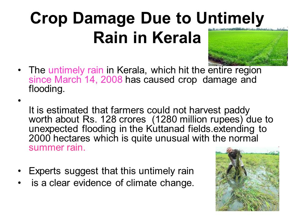 Crop Damage Due to Untimely Rain in Kerala The untimely rain in Kerala, which hit the entire region since March 14, 2008 has caused crop damage and fl