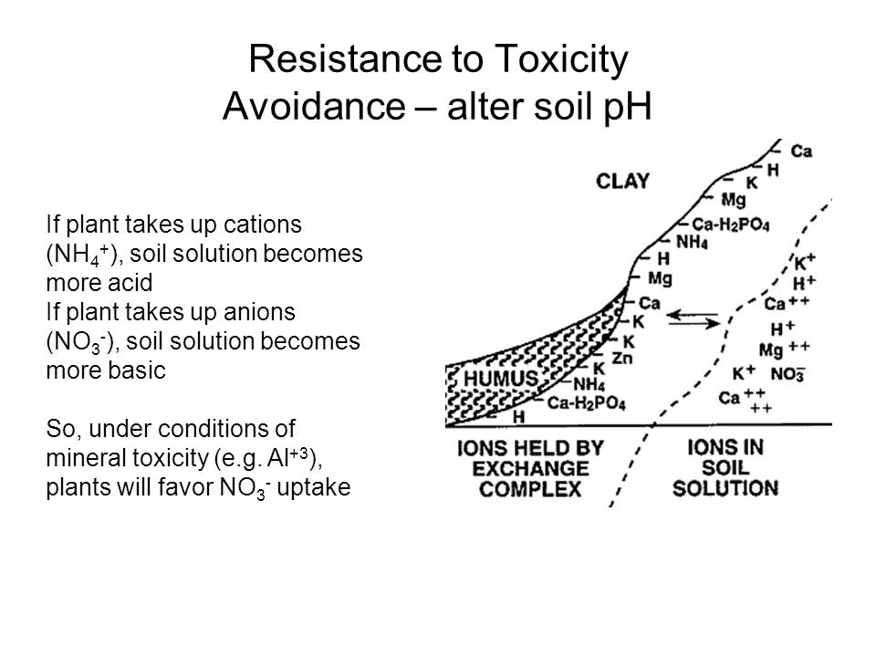 Resistance to Toxicity Avoidance – alter soil pH If plant takes up cations (NH 4 + ), soil solution becomes more acid If plant takes up anions (NO 3 - ), soil solution becomes more basic So, under conditions of mineral toxicity (e.g.