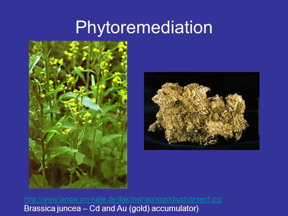Phytoremediation http://www.landw.uni-halle.de/lfak/inst/iap/stockbuch/brsenf.jpg Brassica juncea – Cd and Au (gold) accumulator)