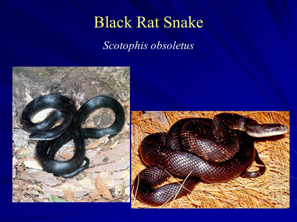 Black Rat Snake Scotophis obsoletus