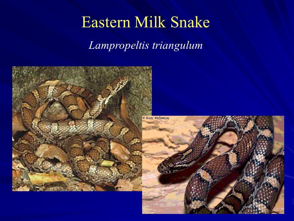 Eastern Milk Snake Lampropeltis triangulum
