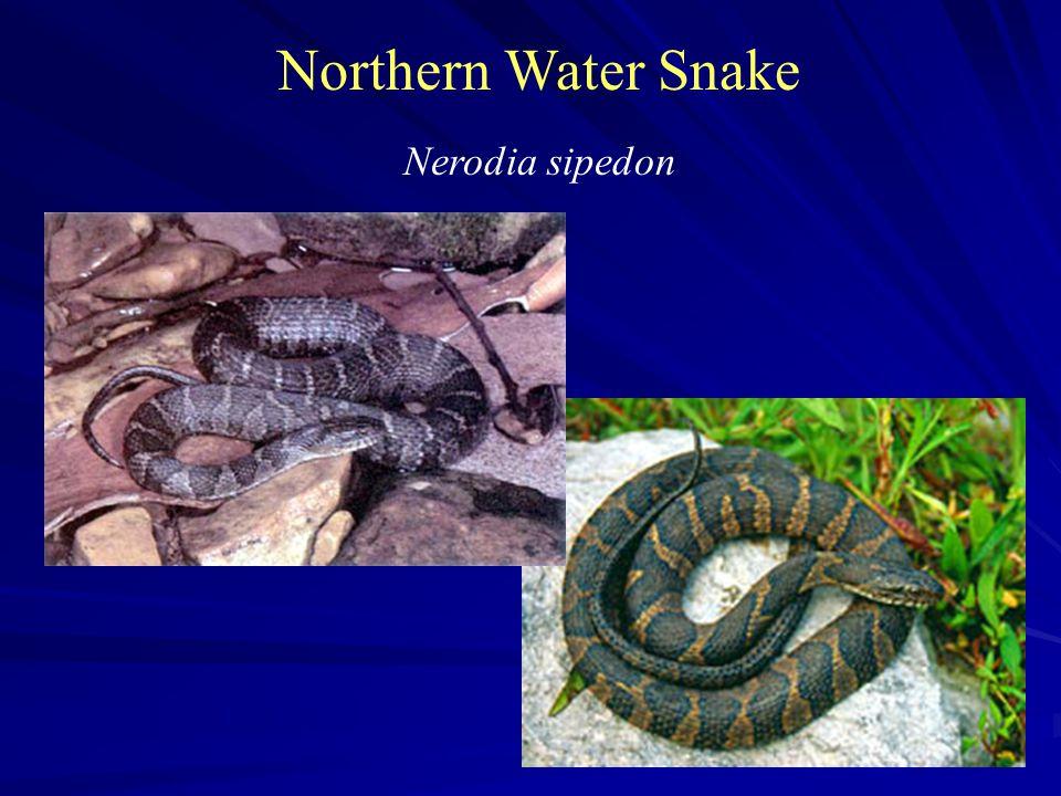 Northern Water Snake Nerodia sipedon
