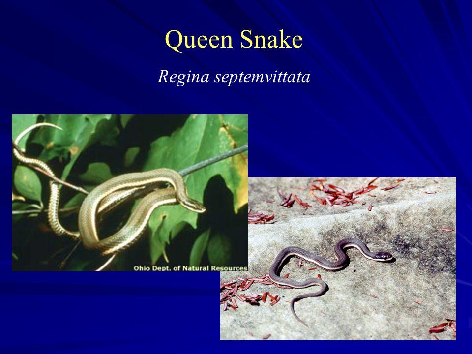 Queen Snake Regina septemvittata