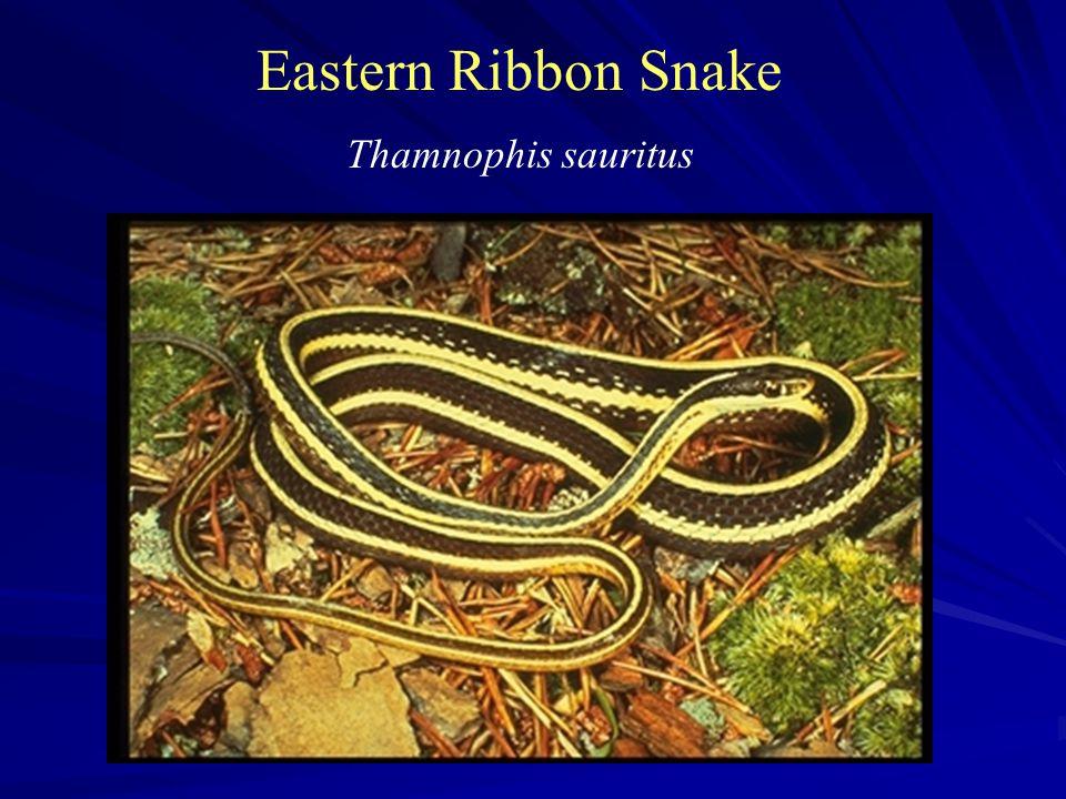 Eastern Ribbon Snake Thamnophis sauritus