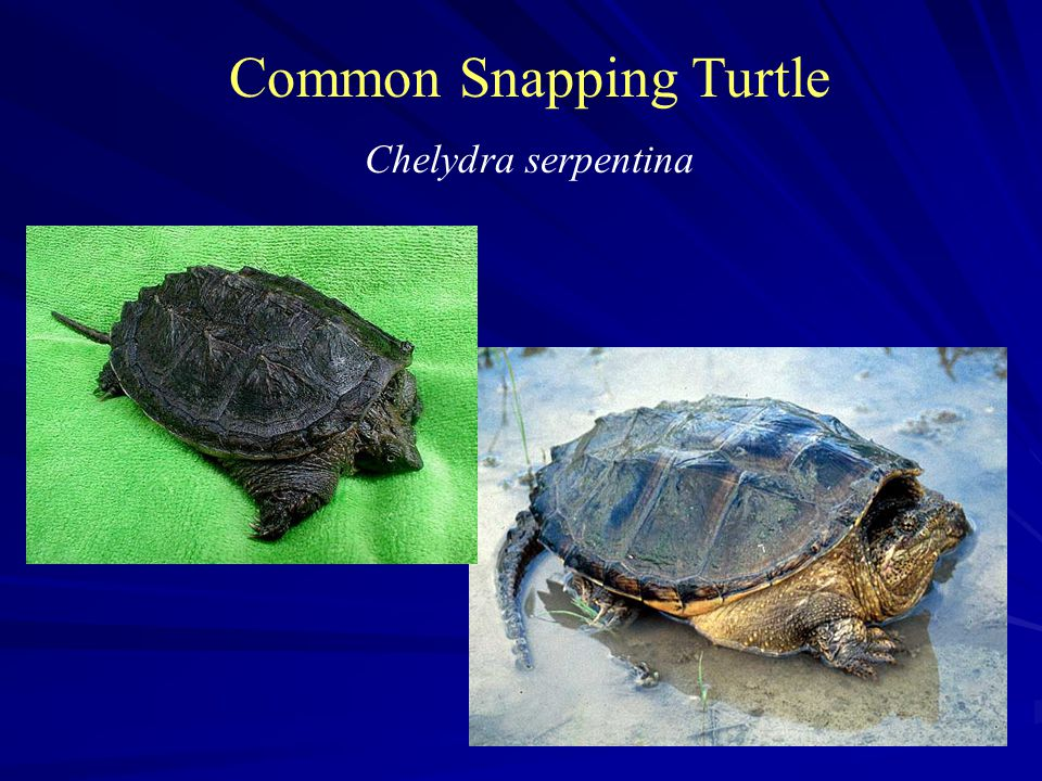 Common Snapping Turtle Chelydra serpentina