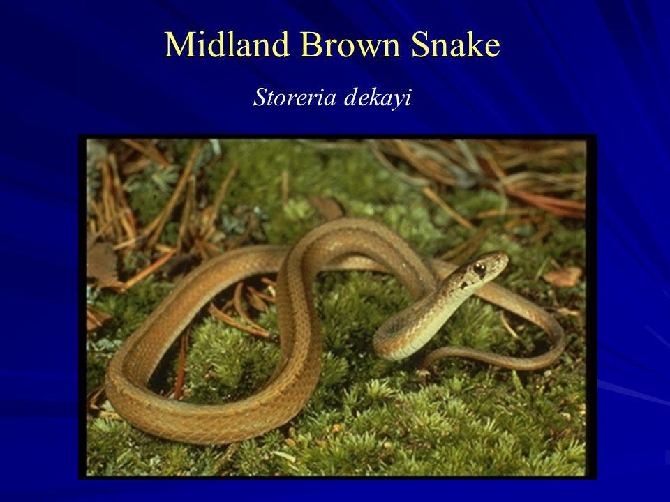 Midland Brown Snake Storeria dekayi