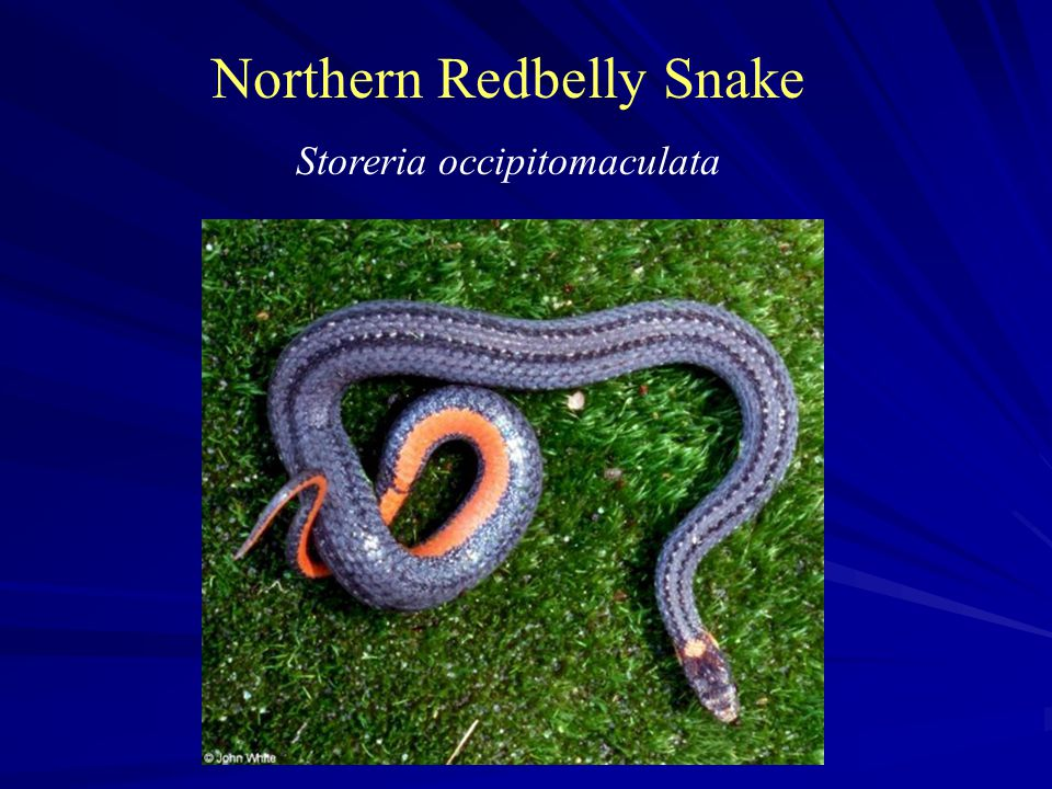Northern Redbelly Snake Storeria occipitomaculata