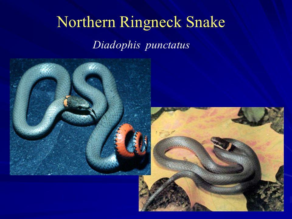 Northern Ringneck Snake Diadophis punctatus