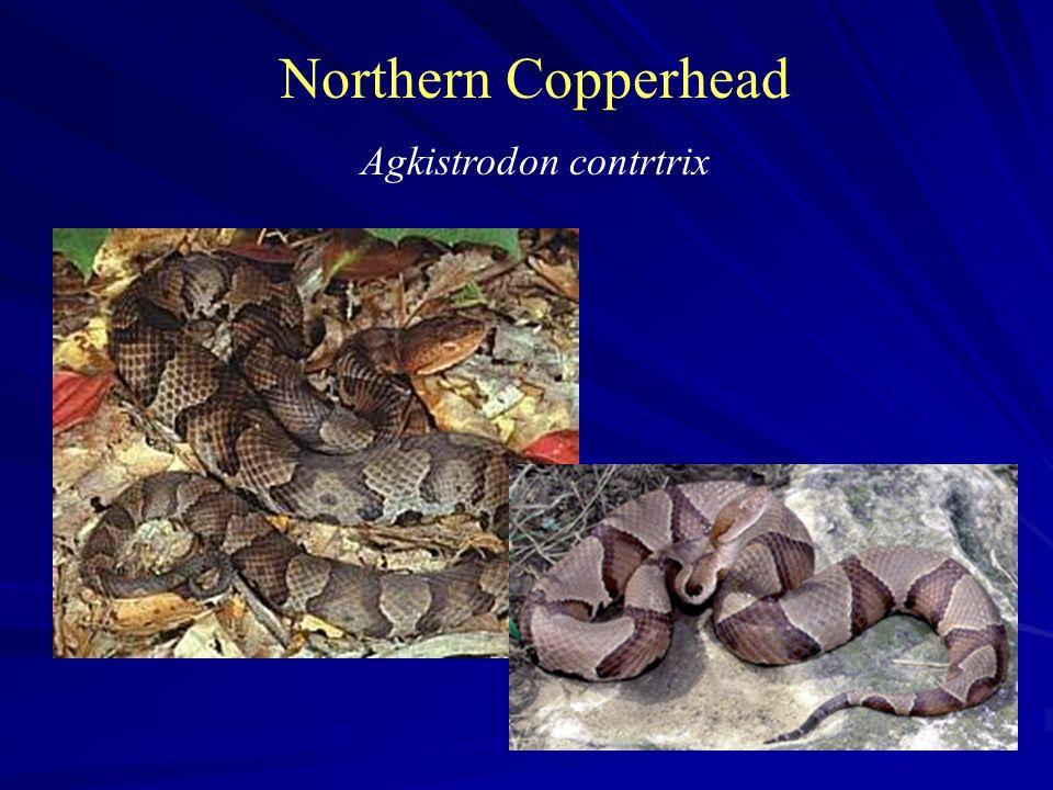 Northern Copperhead Agkistrodon contrtrix