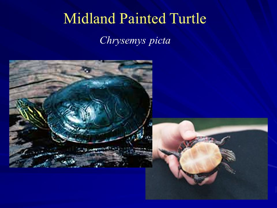 Midland Painted Turtle Chrysemys picta