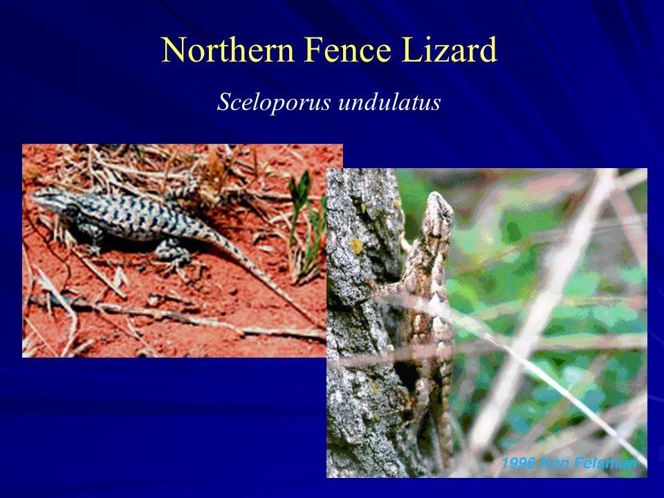 Northern Fence Lizard Sceloporus undulatus