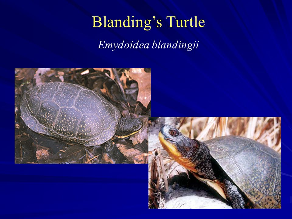 Blanding's Turtle Emydoidea blandingii