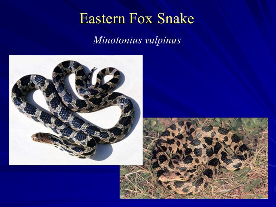 Eastern Fox Snake Minotonius vulpinus