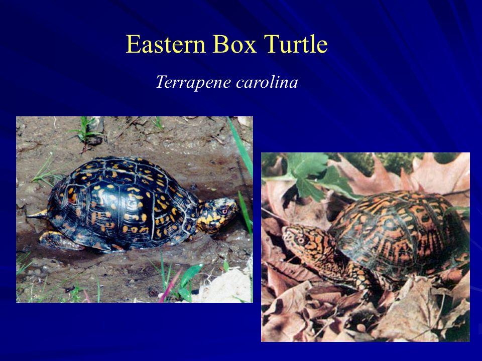 Eastern Box Turtle Terrapene carolina