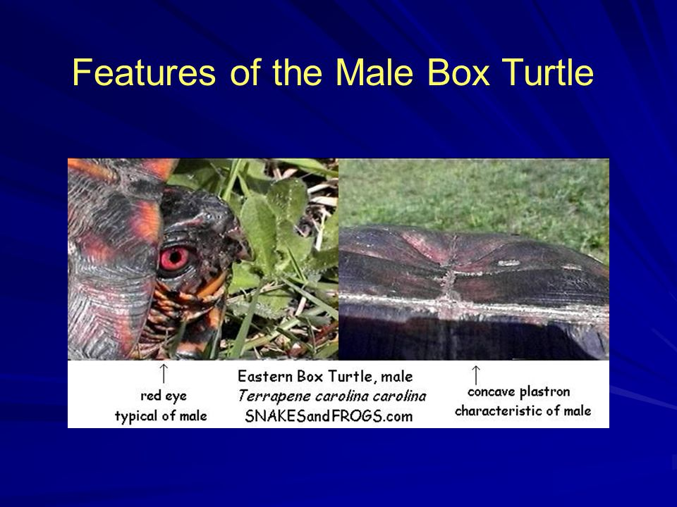 Features of the Male Box Turtle