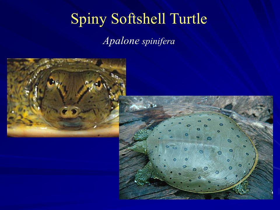 Spiny Softshell Turtle Apalone spinifera