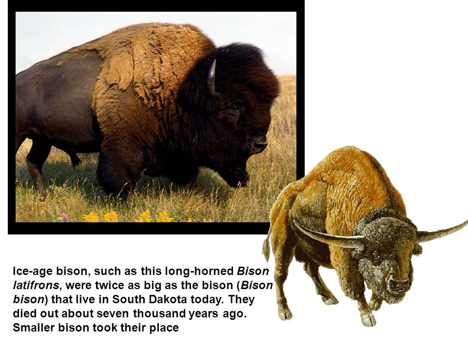 Ice-age bison, such as this long-horned Bison latifrons, were twice as big as the bison (Bison bison) that live in South Dakota today.