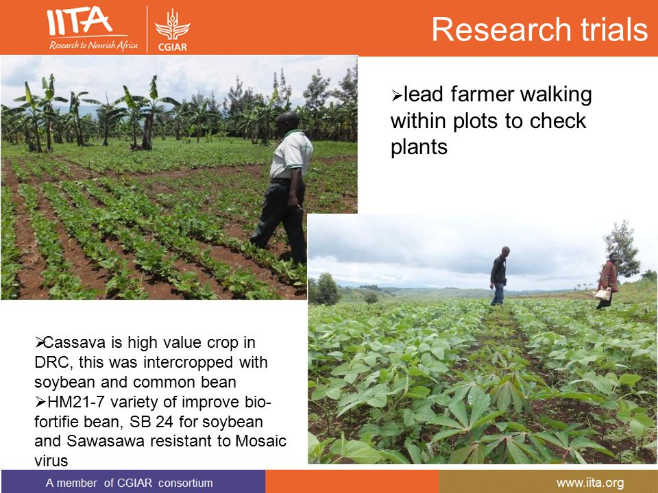 Research trials  Cassava is high value crop in DRC, this was intercropped with soybean and common bean  HM21-7 variety of improve bio- fortifie bean