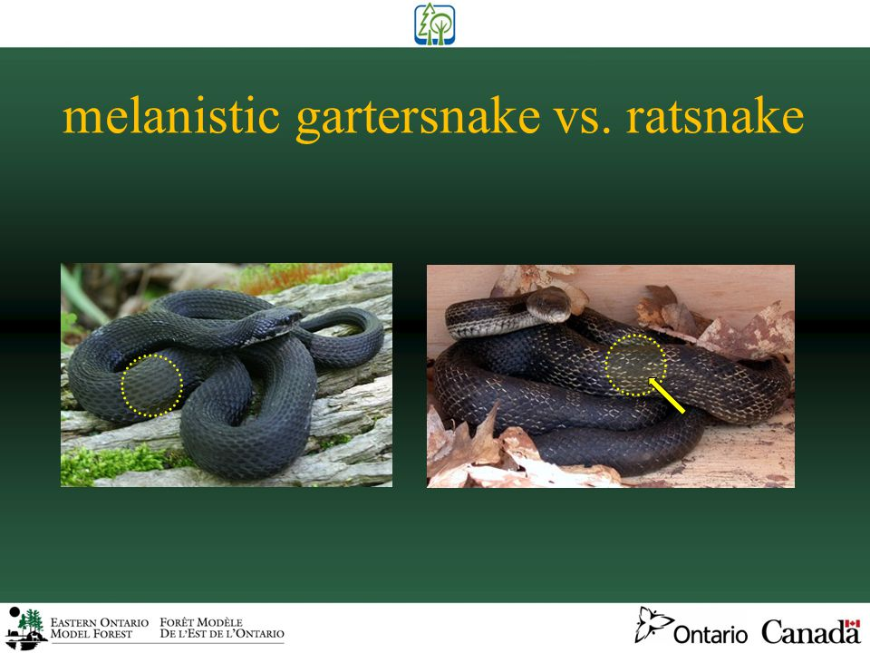 gartersnake vs. ribbonsnake